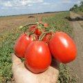 Ез 053 f1 / ez 053 f1  — томат детерминантный, erste zaden 5 000 семян