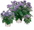 Трахелиум passion violet, sakata 1 000 драже