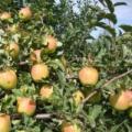 Яблоня Синап алмаатинский.