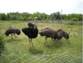 Молодняк страусів і дорослі особини, маткове поголів'я