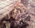 Гусята кубанские, утята, цыплята суточные и подросток ( мастер грей, редбро, испанка, тетра H ) от производителя
