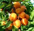 Саженцы абрикоса Лескора (Чехия).