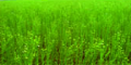 Льон посівний, насіння