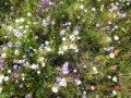 Декоративная цветочная смесь - газоннаяя травосмесь, dlf trifolium 1 кг