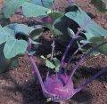 Модрава f1 / modrava f1 — капуста кольраби, semo 2 500 семян