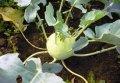 Моравия / moravia — капуста кольраби, semo 2 500 семян