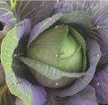 Nasiona głowiastej kapusty