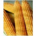 Nasiona ziarna zbóż