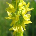 Растение Донник желтый, 1 кг 42-0002