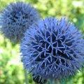 Растение Мордовник (Крутай), 1 кг 41-0005