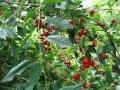 Вишня плодовые деревья