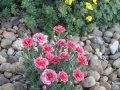 Гвоздика садовая многолетняя