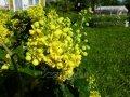 Magoniya for your garden