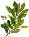 Масло лаврового листа натуральное нерафинированое жирное на экспорт (Oil leafs natural unrefined fat for export)