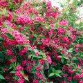 Ornamental shrub of Veygel Lucifer