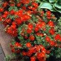 Potentilla fruticosa Red Ace, seedlings, cuttings, Kiev region, Kiev, Ukraine