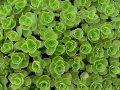 Седумы для вашего сада