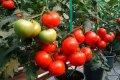 Семена томата МАГНУС F1 250 семян DE RUITER SEEDS