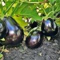 Семена Баклажана Шерил F1 Rijk Zwaan, 1000 семян