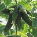Семена огурца Амант F1 / Amant F1 Bejo 250 семян