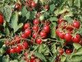 Семена Томата Сомма F1 5000 семян Nunhems  (Нунемс)