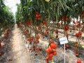 Семена томата Аксиома F1 500 семян Nunhems (Нунемс)