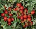 Семена томата   2206 F1 5000 семян  ( Heinz Seed)