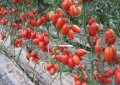 Семена томата Колибри 1000 семян Clause