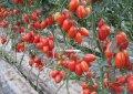 Семена томата Колибри 250 семян Clause