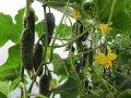 Семена огурец Директор F1 Nunhems 500 семян