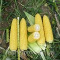 Семена кукурузы Шамо F1 25000 семян Lark Seeds