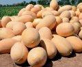 Семена дыни Раймонд F1 1000 сем. Hazera