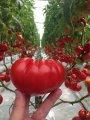 Семена Томата Cappa F1 Clause 250 семян