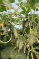 Семена огурца Туми (Tumi) F1 500 сем Enza Zaden