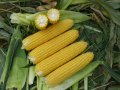 Семена кукурузы Екселент F1 25000 семян Lark Seeds
