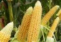 Семена кукурузы  Шайнрок F1 Syngenta 100000 семян