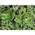 Семена арбуза  Кримсон Свит Clause 10 кг ( мешок)