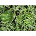 Семена арбуза  Кримсон Свит, Clause, 0,5  кг