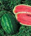 Семена арбуза Мелания F1 (Melania F1) 1000 сем. Seminis