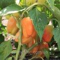 Семена перца Ведрана F1 500 сем Enza Zaden