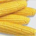 Семена кукурузы МЕГАТОН F1 1 кг. Harris Moran