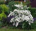 Spirey Vangutt for landscaping, Kiev region