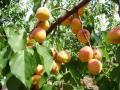 Саженцы абрикоса Наслаждение (Волшебный)
