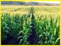 Гібрид кукурудзи  ЛАТІЗАНА