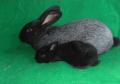 Кролики серебристые, Киев, Украина