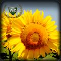 Семена подсолнечника под гранстар / насіння соняшника (гранстар)