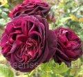 Роза Графиня