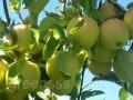 Яблоня Кальвиль снежный