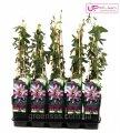 Пассифлора Lavender Lady -- Passiflora Lavender Lady  P15/H65