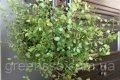 Мюленбекия спутанная -- Muehlenbeckia complexa  P11/H20